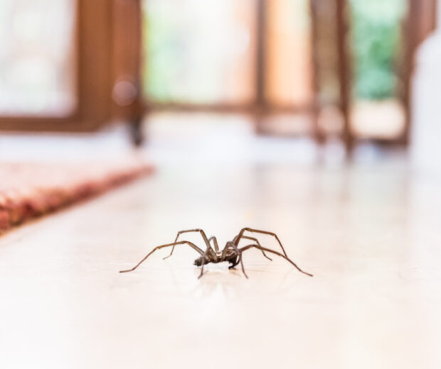 House spiders aren't known to be harmful, but they shouldn't be living in your home. Check out this guide on how to get rid of spiders.